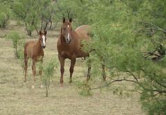 Horses RV