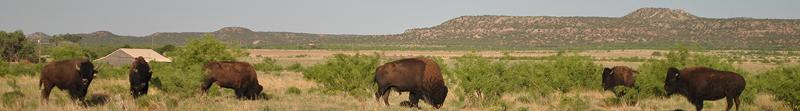 Caprock Canyons Bison