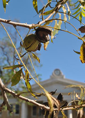 Pecan trees on Uvalde_s plaza