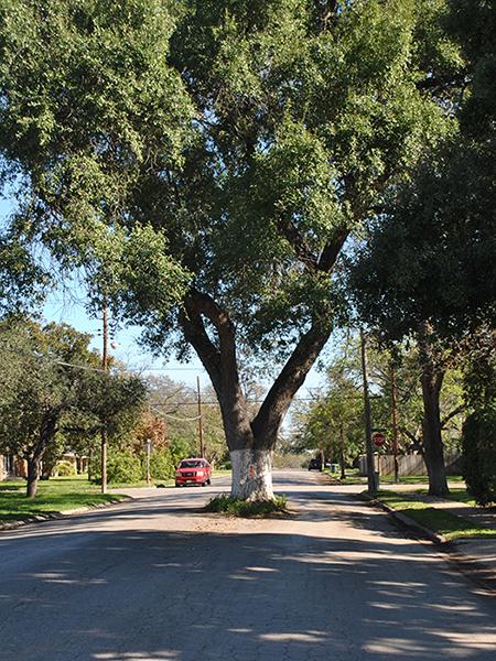 Love oak tree_ Uvalde_ Texas