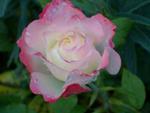 Rose Society