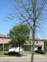 TreeAzin treated tree in background