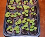Geranium seedlings