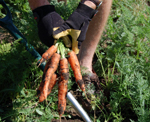 Harvest tips