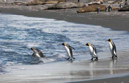 penguins into the water