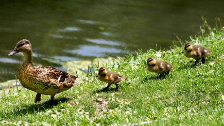mom and baby ducks