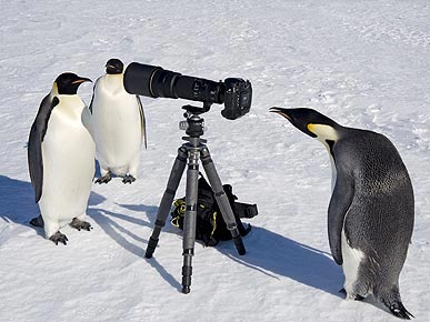 penguin taking a picture