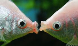 Kissing fish