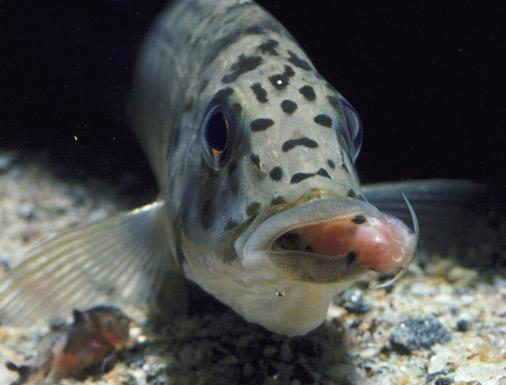 Cichlid-Catfish