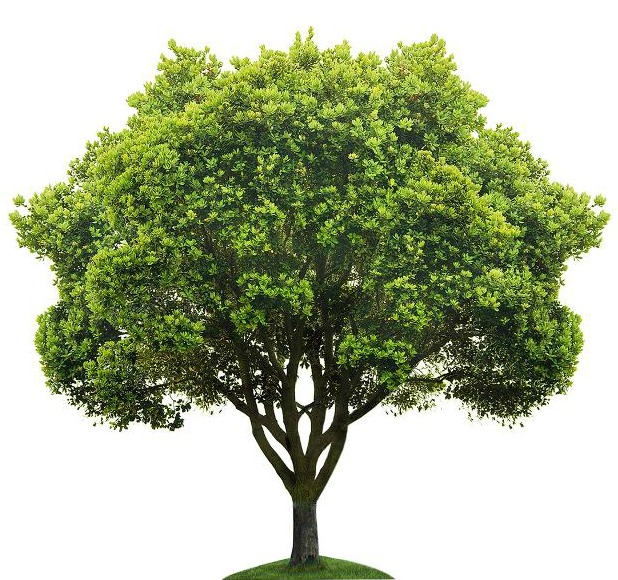 TTF tree