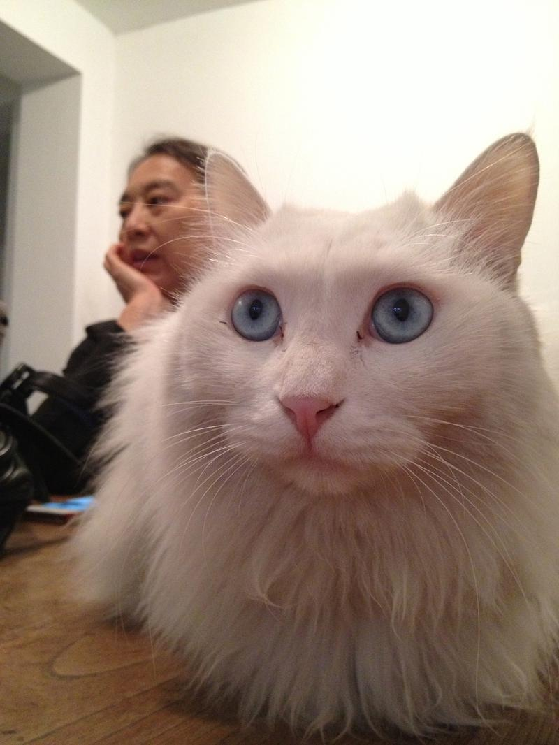 HL white cat