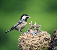 bird feeding young in nest