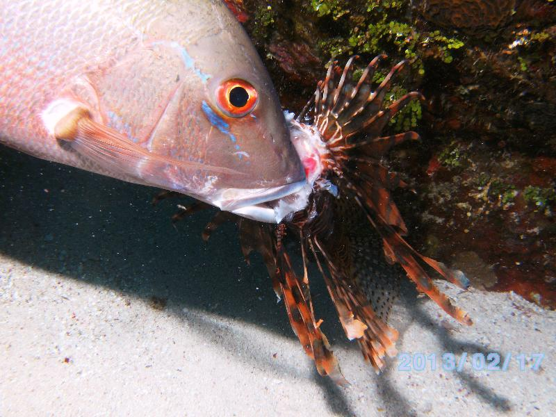 Cayman Island Lionfish