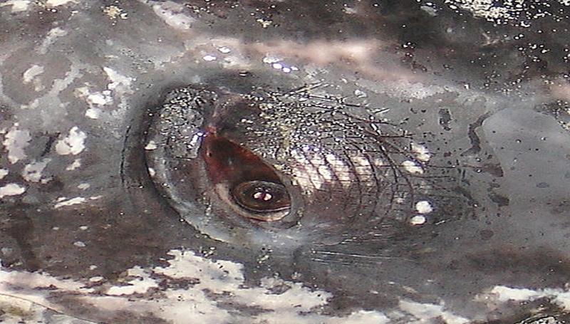 Leatherback Eye