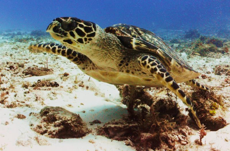 Hawksbill Turtle, Cozumel