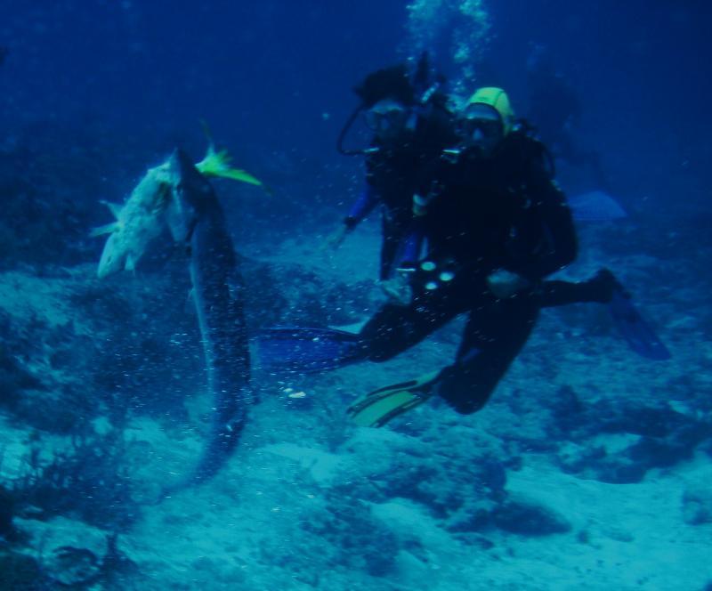 Barracuda takes a snapper