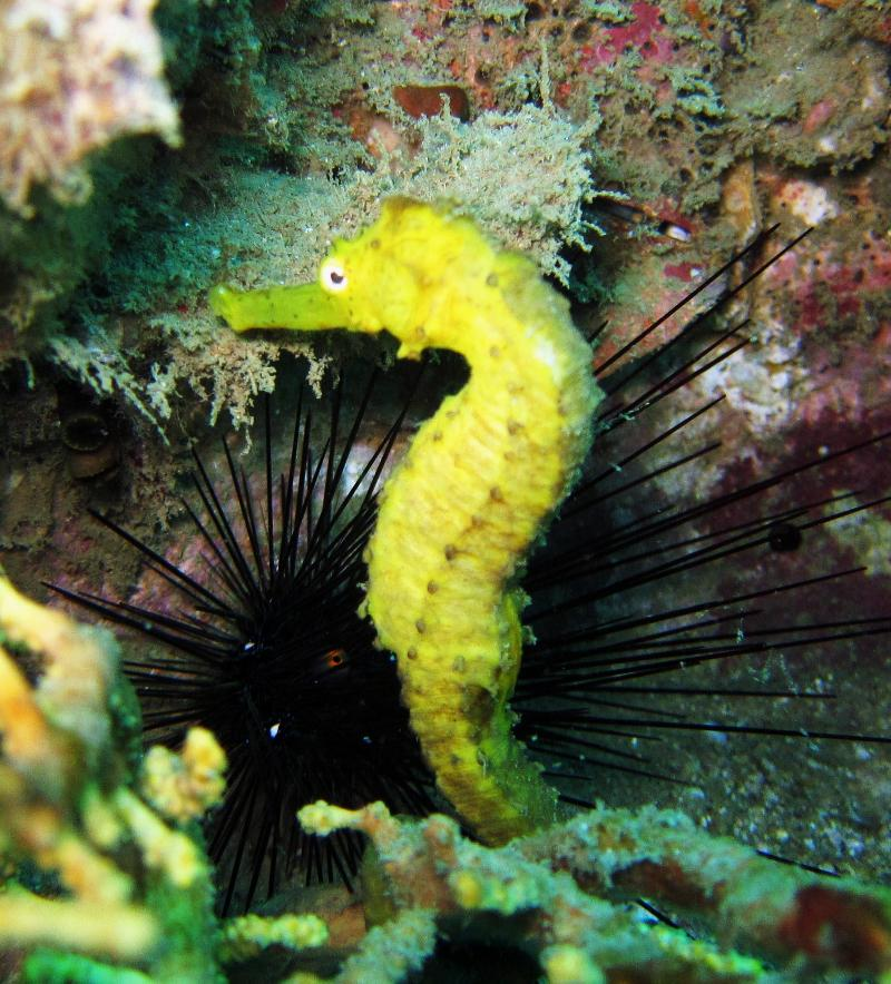Sea Horse - Thailand