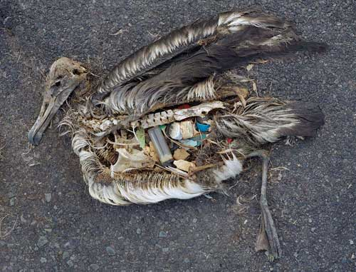 Dead Albatross