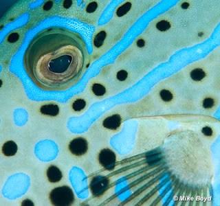 File fish closeup