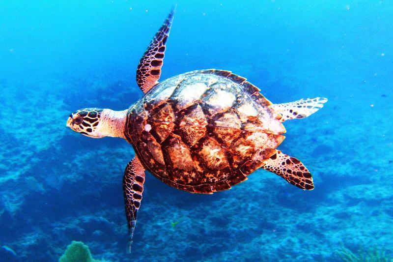 Hawksbill Turtle, Cayman Islands