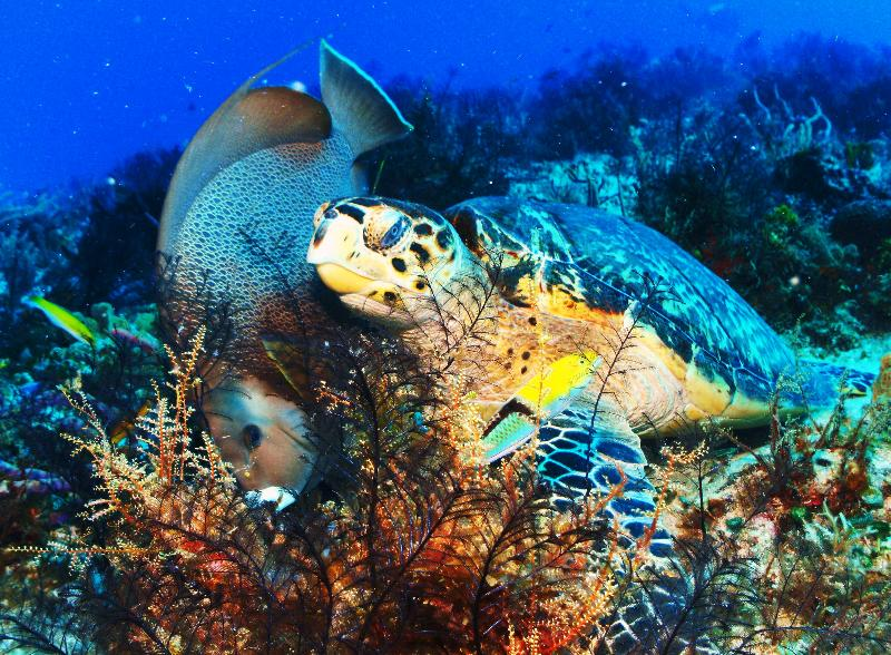 Turtle & angel fish forage