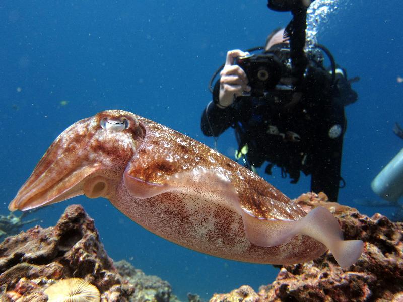 Cuttlefish - Thailand
