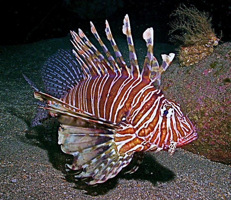 Lion Fish in North Carolina