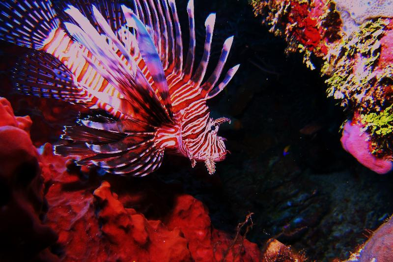 Lionfish in Grand Cayman
