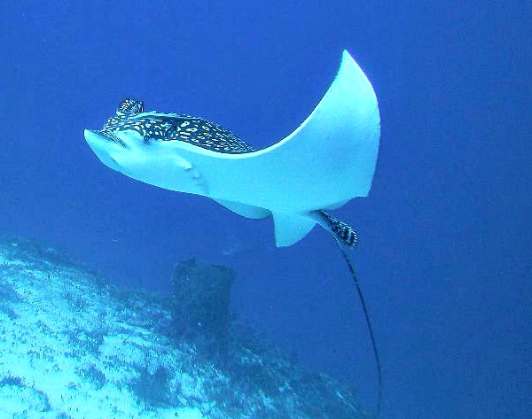 Eagle Ray in Cozumel