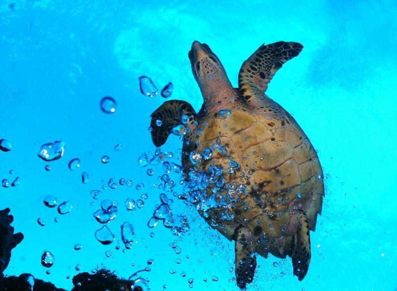 Hawksbill turtle in bubbles