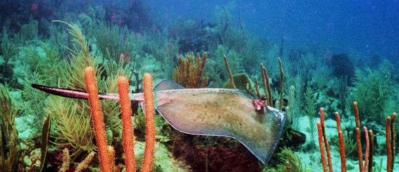 stingray weaves past corals