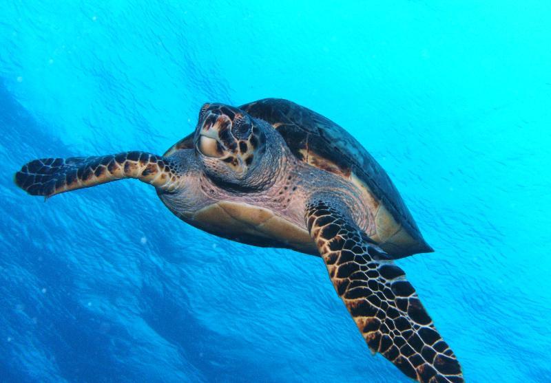Diving Turtle, Cozumel