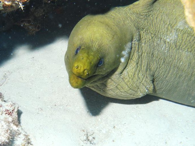 Green Moray Moray, Cozumel