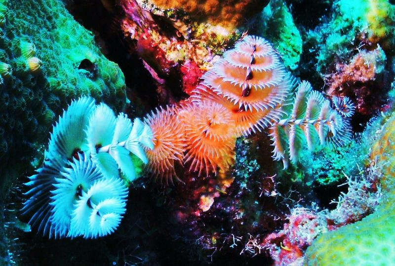 Christmas Tree Worms2