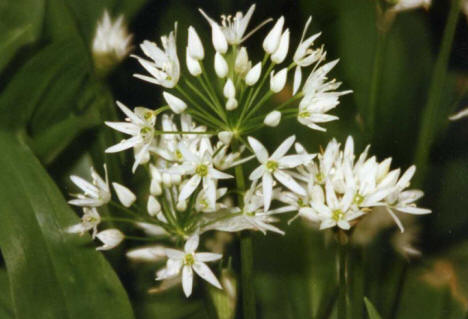 wild garlic flowers