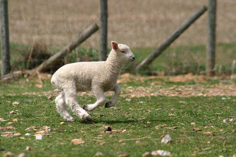 go lamb go!