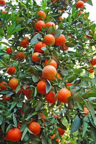 EMB - Fruit Tree