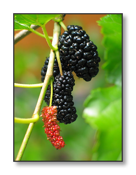 Mulberry  Plant