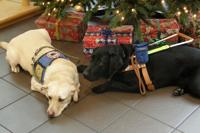 Cute assistant dogs under the Christmas tree