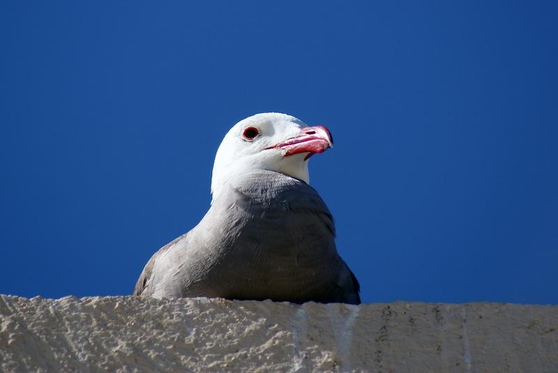 Heermans Gull