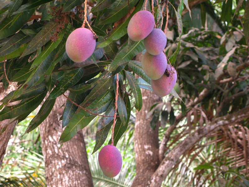 Purple Mangoes