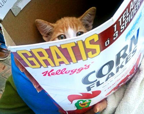 DS Kitten in box