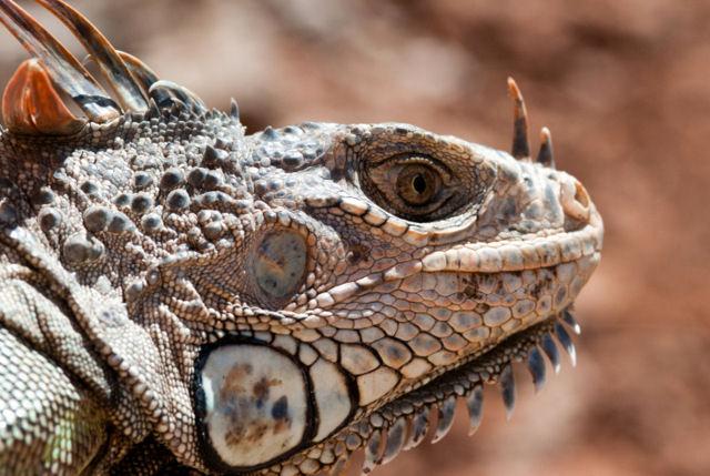 CS Rewards Challenges Iguana face