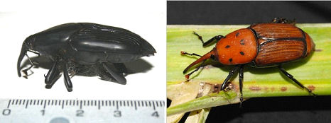 Palm weevils May 15 2012