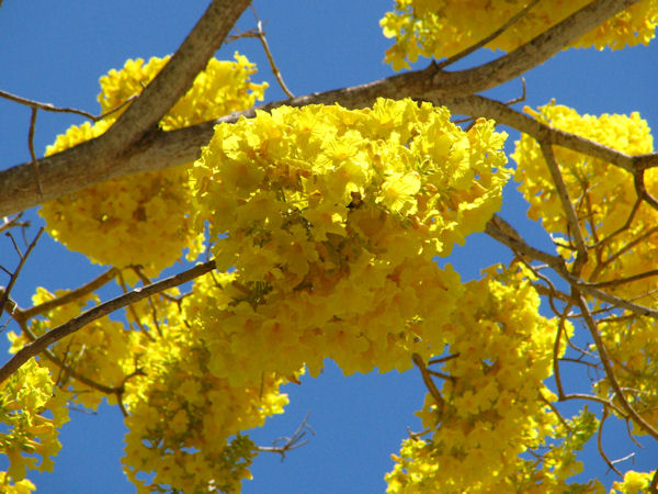 Primavera Yellow
