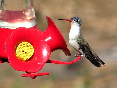 TPA Violet-crowned hummingbird