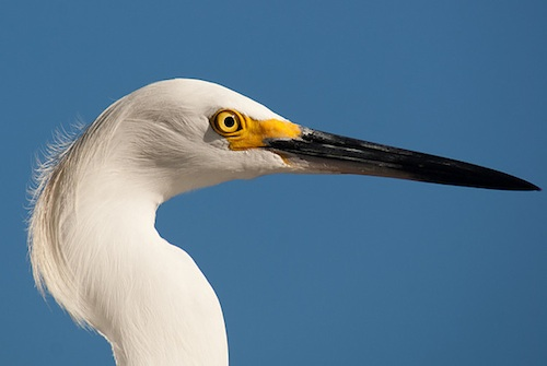 White Egret CS