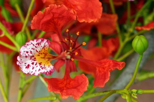 Tabachin Flower