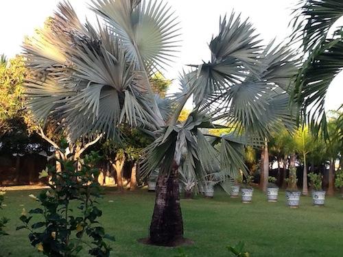 Bismark Palm Tree