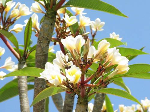 Plumeria May 15 2012